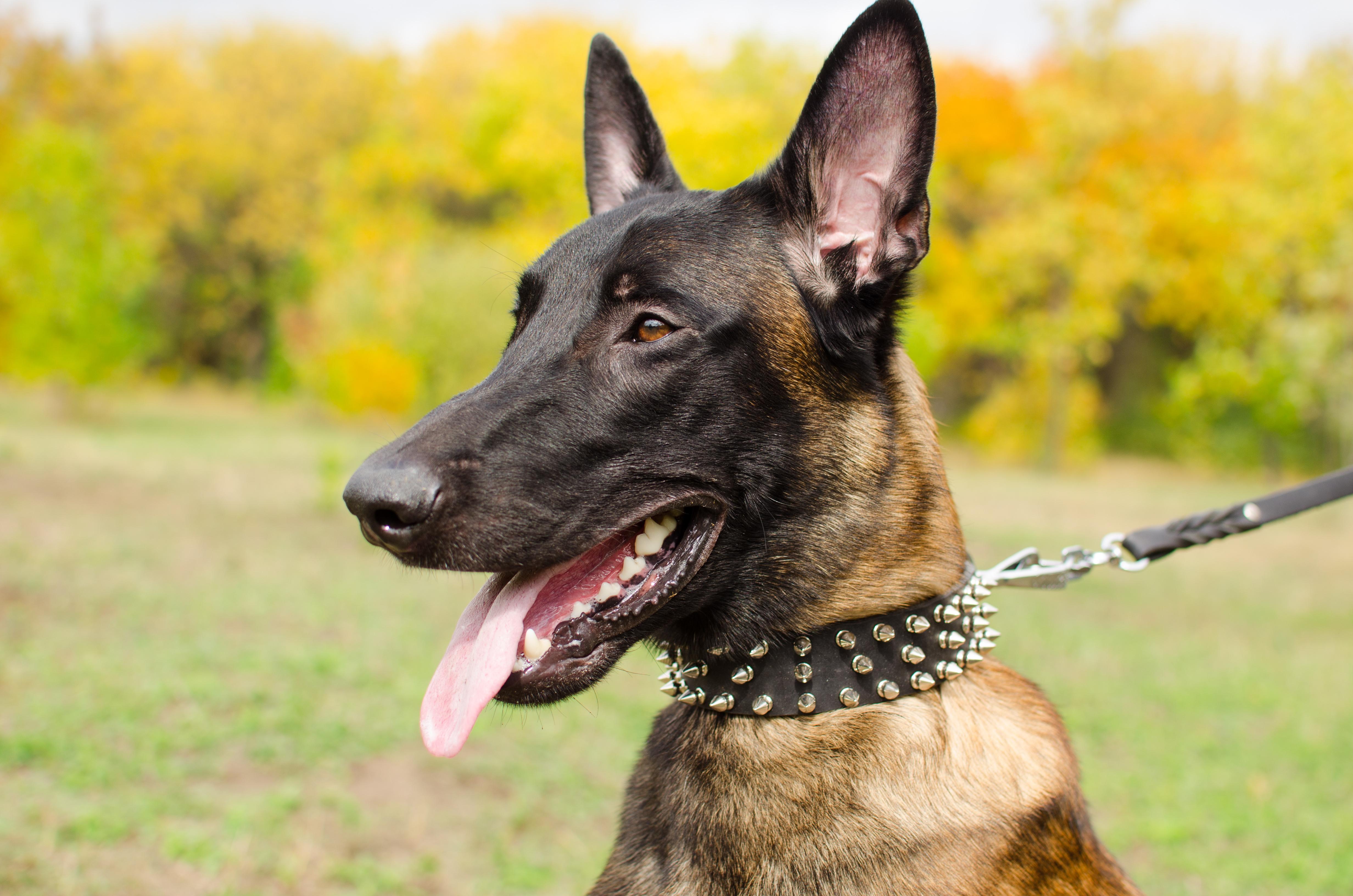 Scharzes Nieten Lederhalsband für Schäferhund