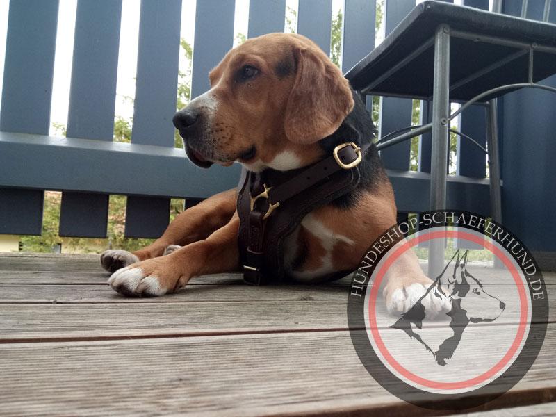 Schönes Brustgeschirr für Beagle
