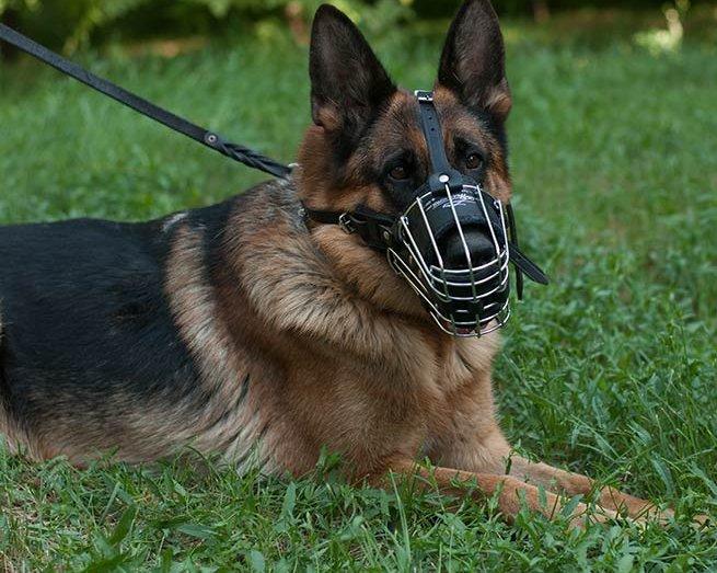 Schäferhund mit Drahtmaulkorb